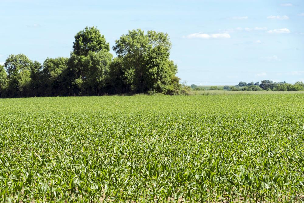Culture de céréales - Champ de maïs